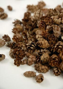 Pine Cones Tiny Hemlock 1000 cones 3 Quarts