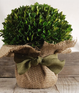 Preserved Boxwood Arrangement 10in Potted with Burlap