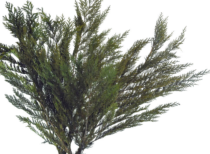 "Preserved Cedar Branches (26"" tall) Fragrant Natural 3-6 branches"