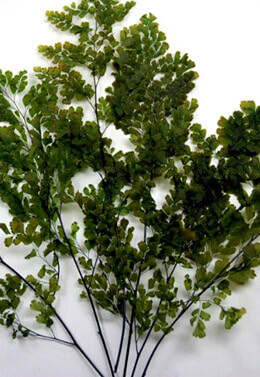 Preserved Ferns 7-9in  5-6 stems Lutti Adianthum