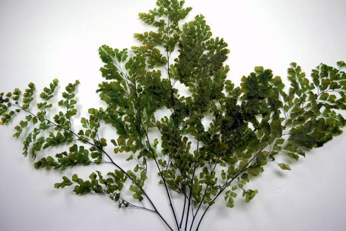 Preserved Ferns 10in  5-6 stems Lutti Adianthum
