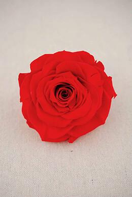 Coral Garden Rose roses