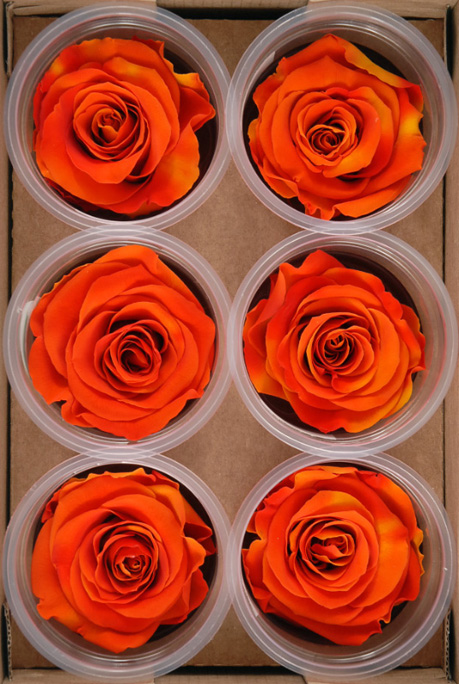 Preserved Roses 2.5in Orange & Yellow (6 roses)