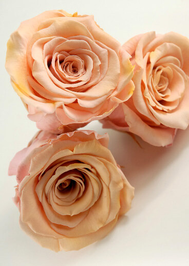 Preserved Roses 2 5 Quot Peach 6 Roses