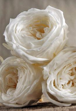 Temari Preserved Roses ( 8 rose heads) Soft White 2.25in