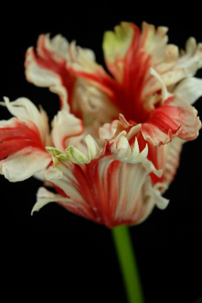 Real Touch Flowers Red Amp Cream Parrot Tulip
