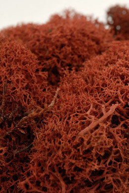 Reindeer Moss Sienna Brown  11oz Natural Norwegian