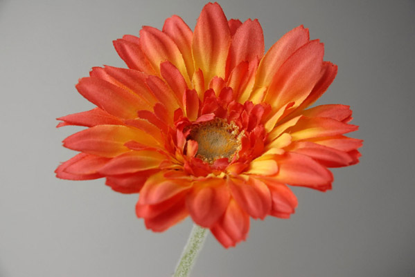 24 Royal Gerbera Daisy Spray Orange