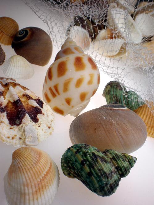 seashells assorted 12oz