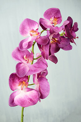 Phalaenopsis Orchid Spray  Hanging Orchid Stem