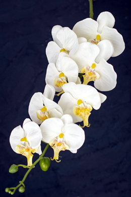 White Phalaenopsis Hanging Orchids 40""