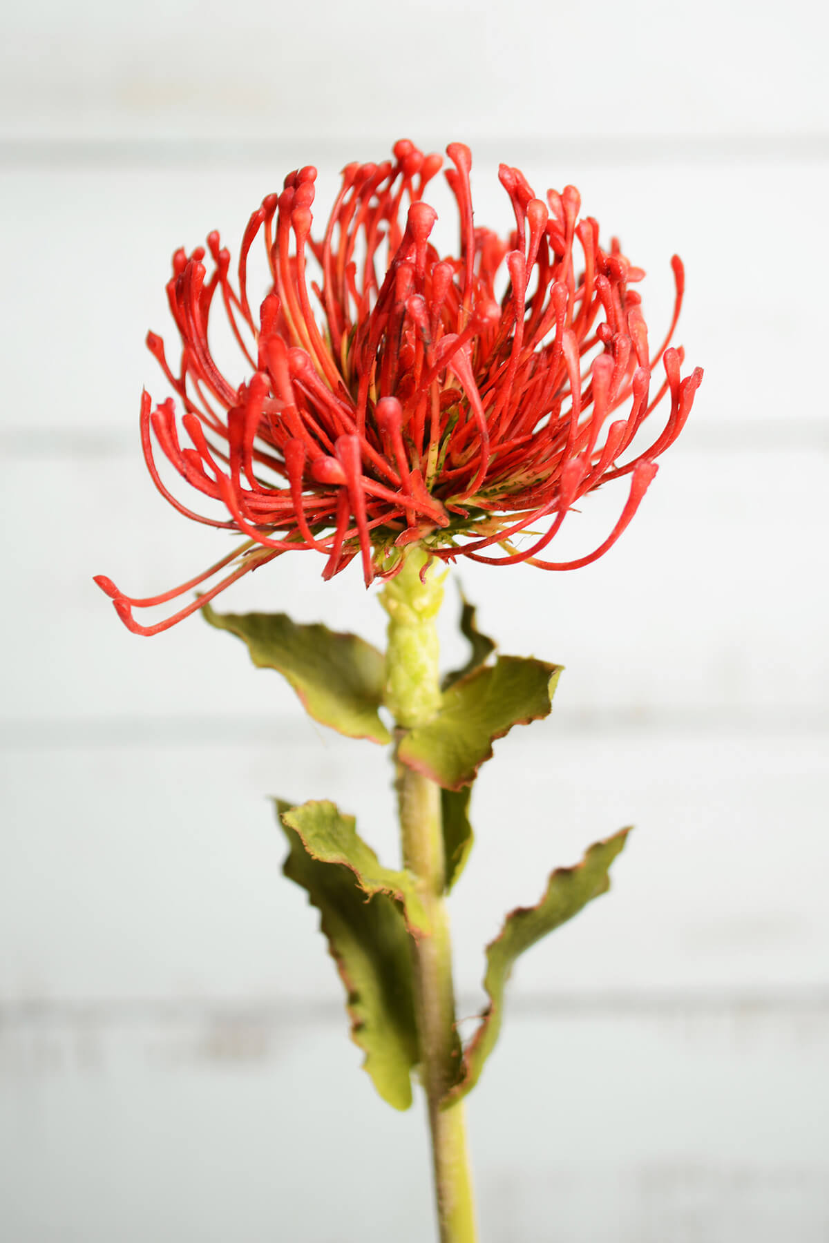 Tropical Flower On Koh Samui Thailand: Artificial Protea Flower Red & Orange