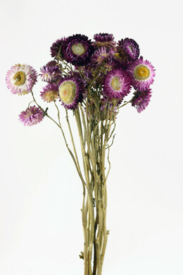 Purple Dried Strawflowers