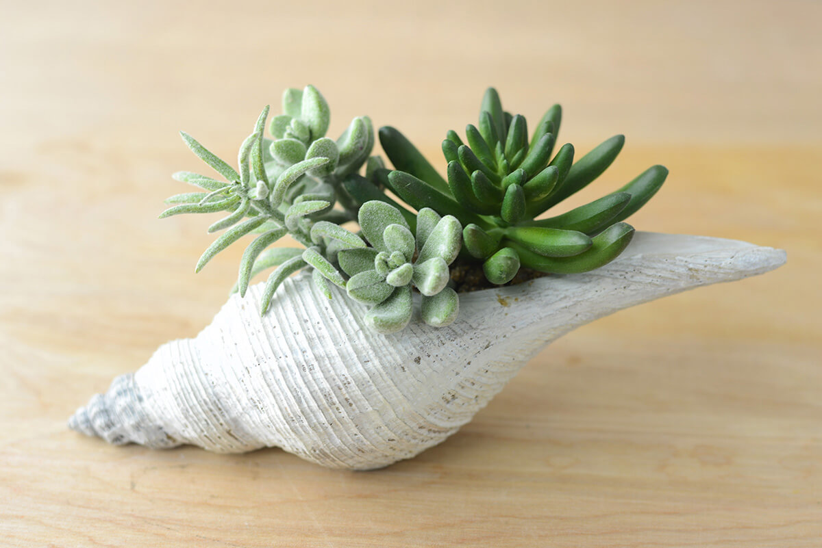 Faux Succulents In Shell 8 Quot