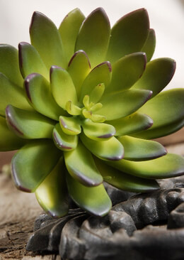 Succulents Echeveria Green & Burgundy 8.5in  Natural Touch