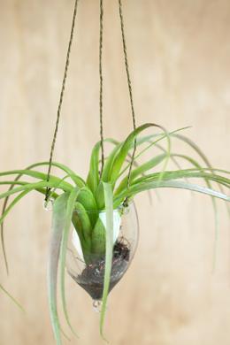 Faux Tillandsia in Glass Hanging Vase
