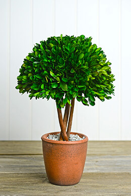 Preserved Boxwood Topiary in Terra Cotta Pot Green   13.5in