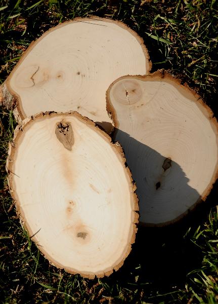 Tree Slices 8-9in Irregular Shape