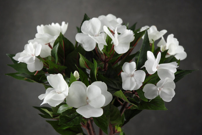 White Impatiens Flowers