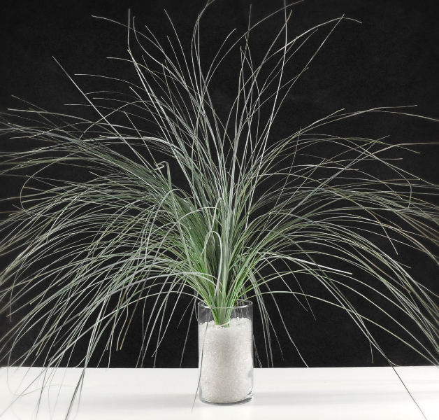 Preserved PASTEL WHITE Natural Bear Grass 31""