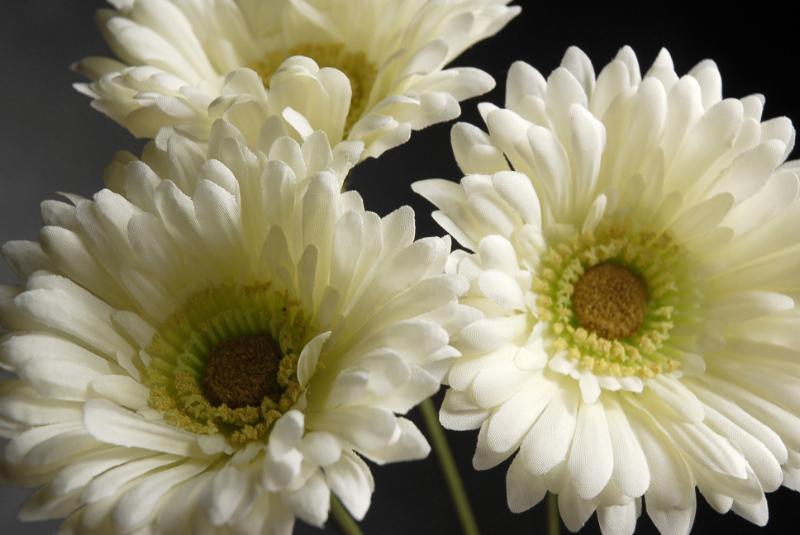 One dozen white gerbera daisies mightylinksfo