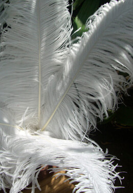 50 White Ostrich Plumes 18-22in 1/2 lb