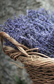 Botanicals, Lavender, Sola Flowers